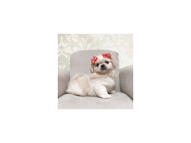 Pekingese-Female-beige-1896134-Furry Babies
