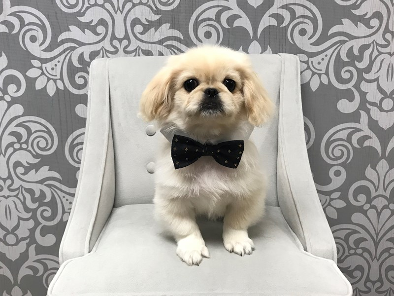 Pekingese-Male-cream-1897329-Furry Babies