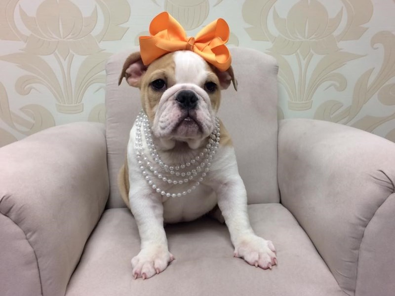 English Bulldog Dog Female White And