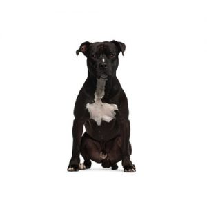 American Straffordshire Terrier