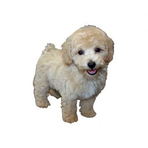 Bichon Poo Puppies Furrybabies