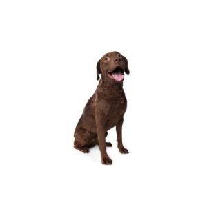 Chesapeake Bay Terrier