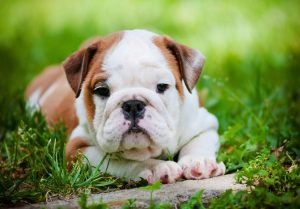 Adorable As An English Bulldog Puppy