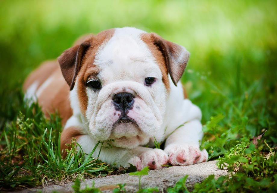 Adorable As An English Bulldog Puppy