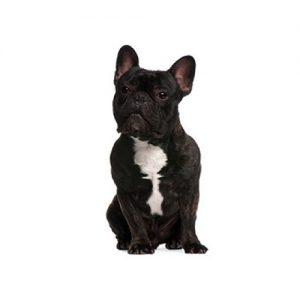 French Bulldog - Frenchie