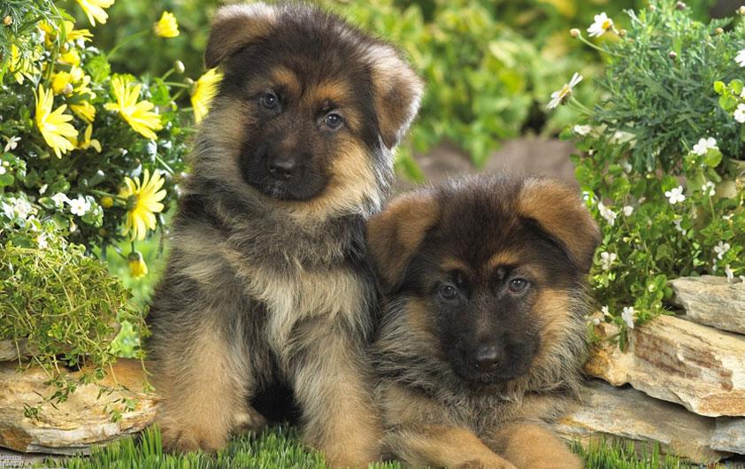 Furry Babies Has The German Shepherd Puppies For Sale Youve Been