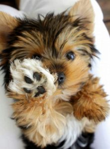 Yorkie Puppies For
