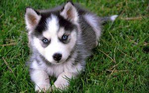 pomski puppies for sale