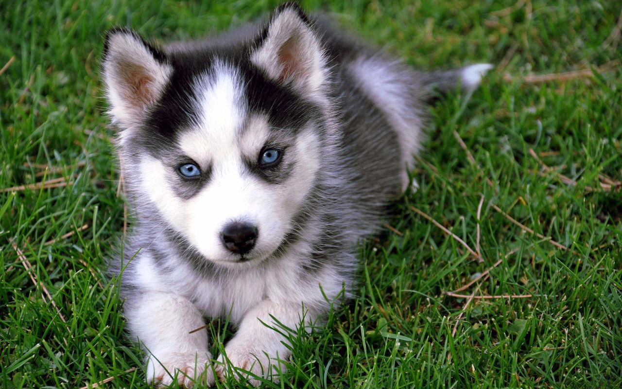 Before Taking Home Pomsky Puppies For Sale Learn About Their
