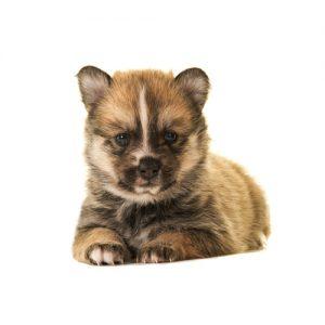 Furry Babies Pomsky