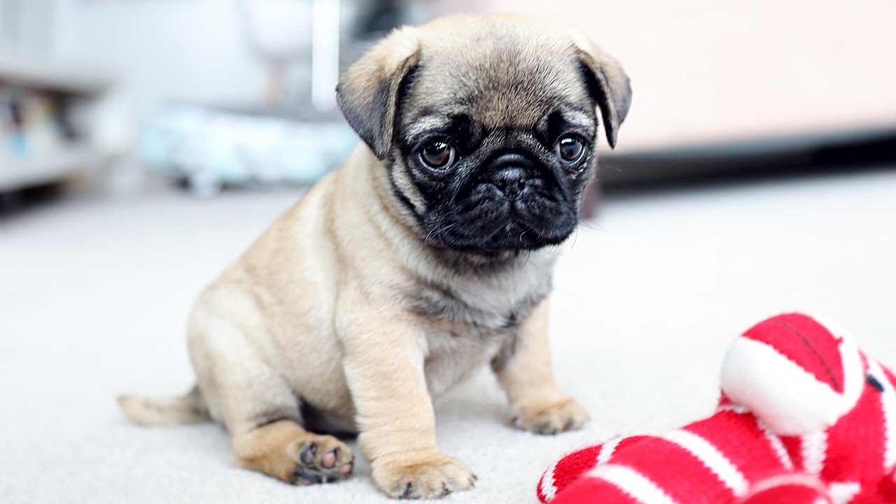 Before Searching For Pug Puppies For Sale Check Out Our Breed Blog