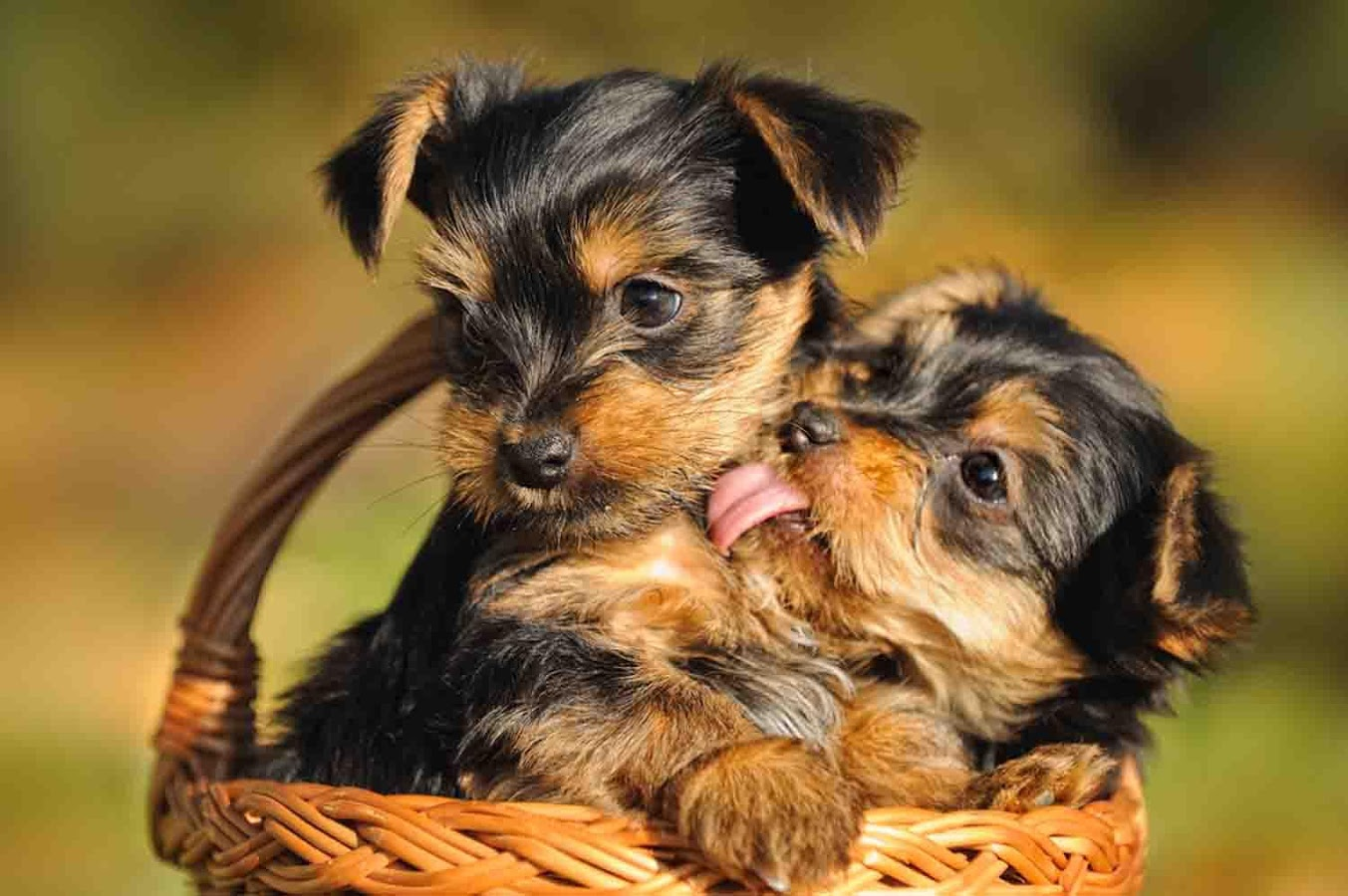 Furry Babies Has The Cutest Yorkie Puppies For Sale Anywhere Come Check Them Out Furry Babies