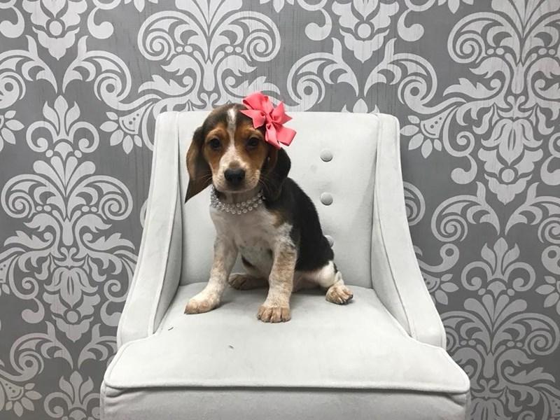 Beagle-Female-Tricolor-1947249-Furry Babies