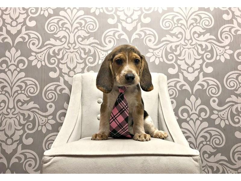 Beagle-Male-Black & Tan-1947386-Furry Babies