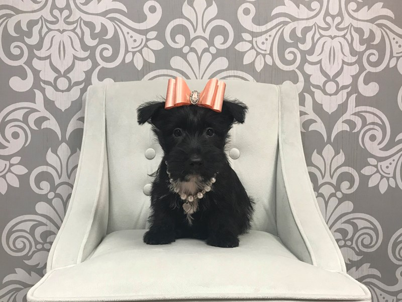 Scottish Terrier-Female--1937612-Furry Babies