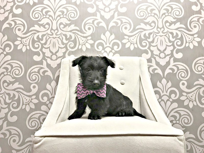 Scottish Terrier-Male-Black-1937671-Furry Babies