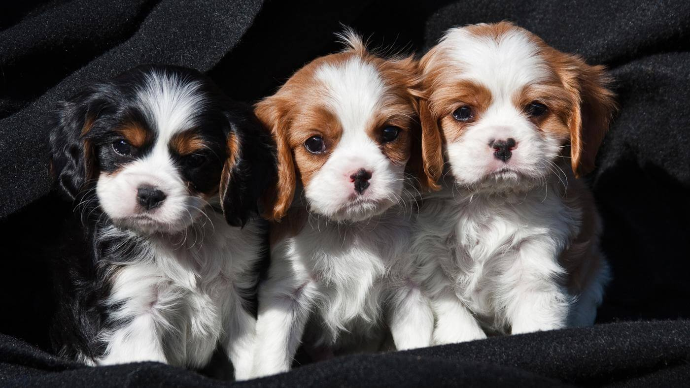 Our Cavalier Puppies For Sale Are So Cute Come Check Them Out Today