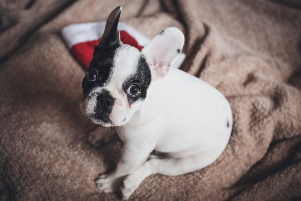 French Bulldog Puppies For Sale Are Sweeping The Nation In