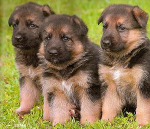Military Dogs For Sale