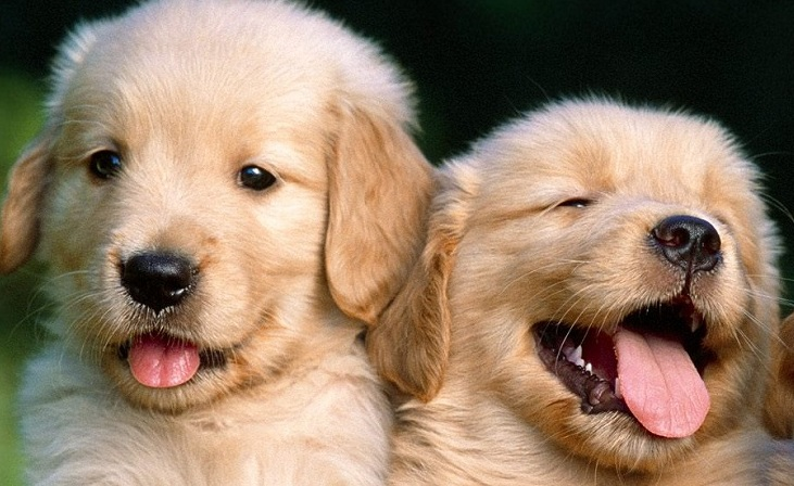 Find Out Why Golden Retriever Puppies Are One Of Americas Favorite