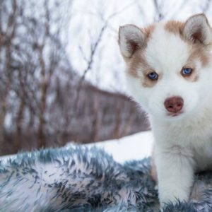 Meet Our Coolest Residents Our Siberian Husky Puppies For