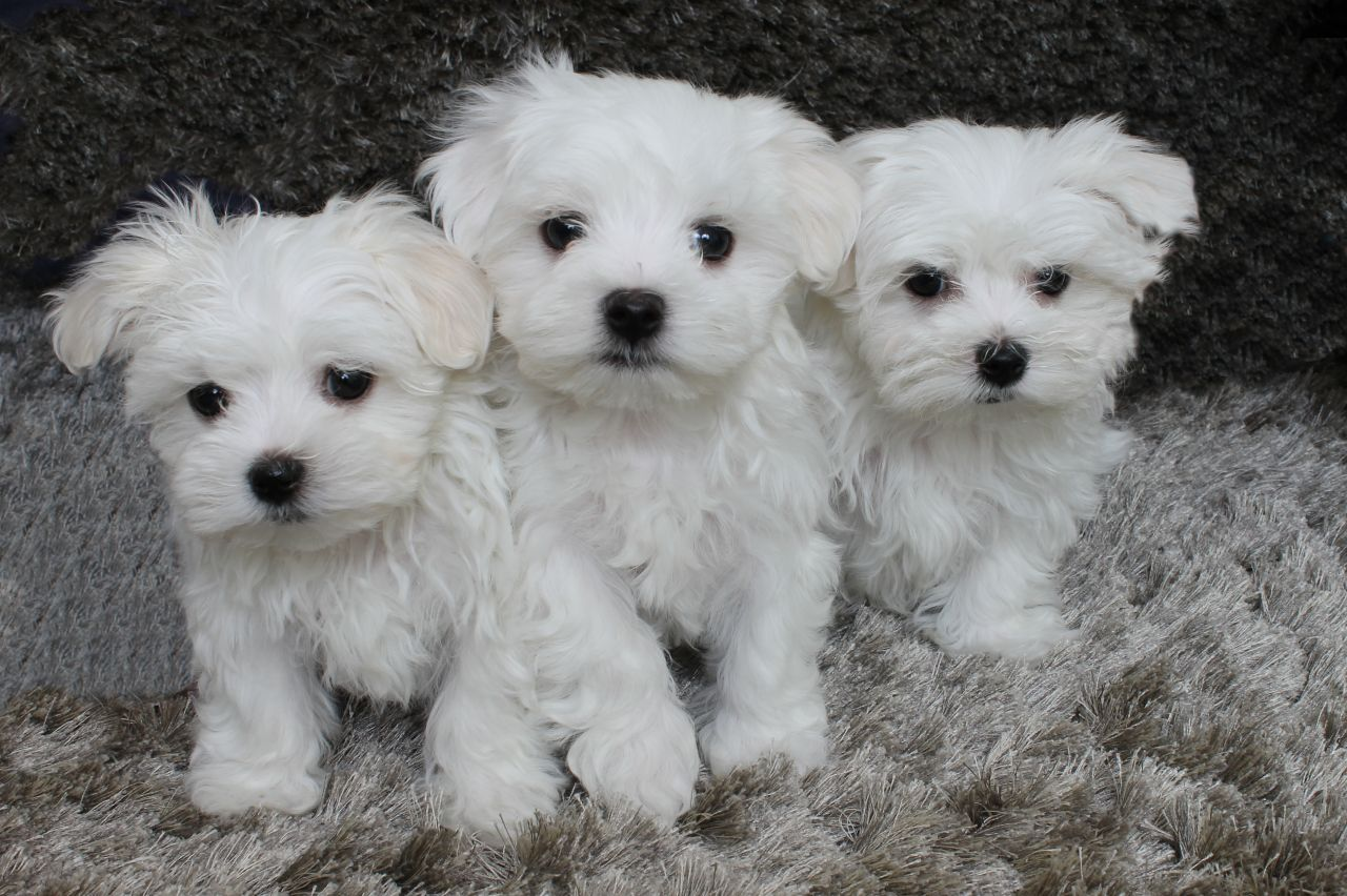 Small Pedigree Dogs For Sale
