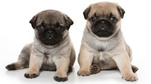 In Need Of A New Bestie Our Pug Puppies Will Love You Furrrr Ever