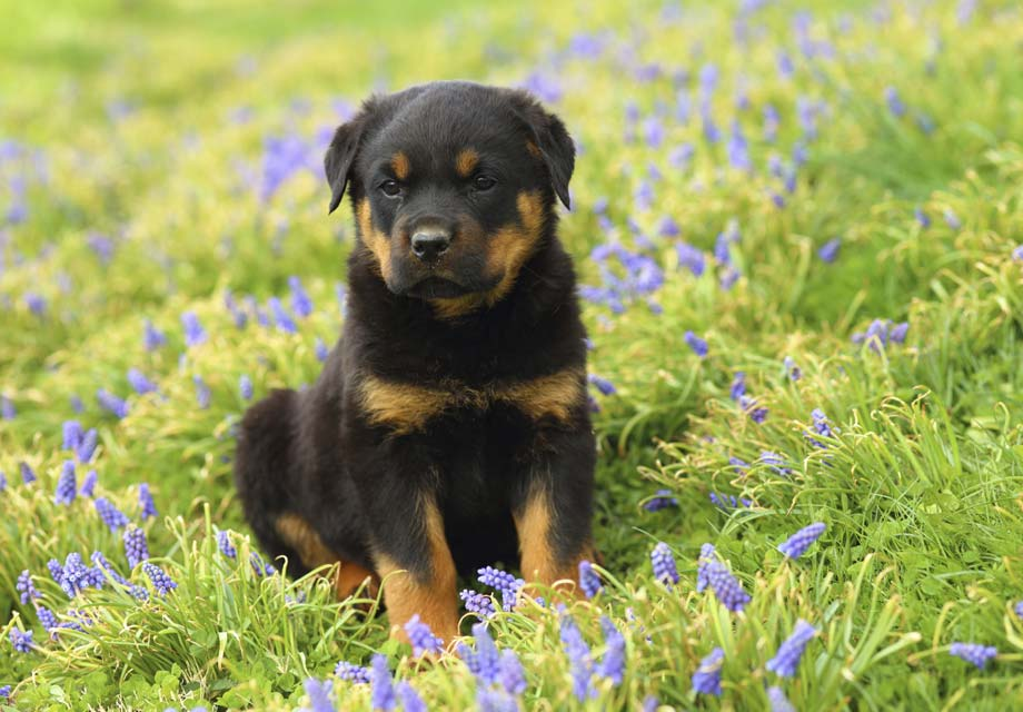 A Large Breed With A Heart Of Gold Check Out Our Rottweiler Puppies