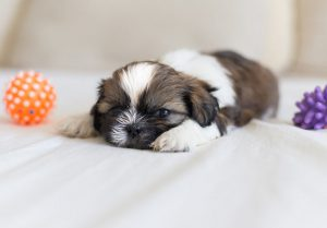 Our Shih Tzu Puppies For Sale Are Guaranteed To Steal Your Heart