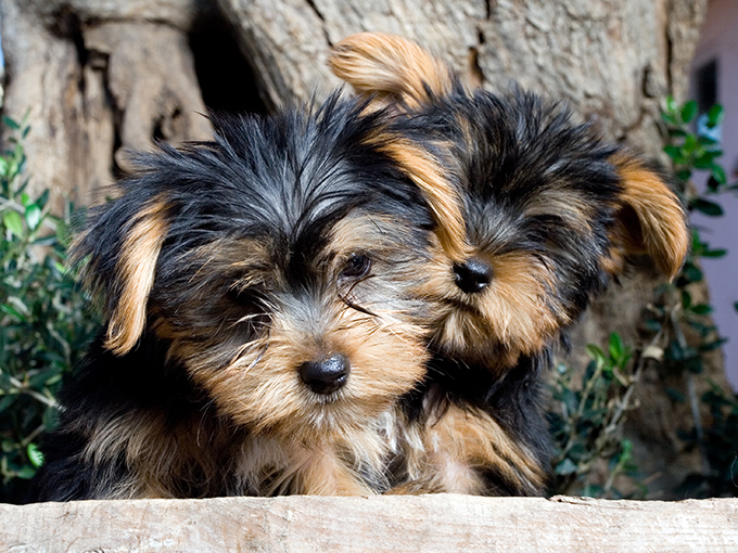 Why Everyone Has Fallen In Love With Our Yorkie Puppies For Sale