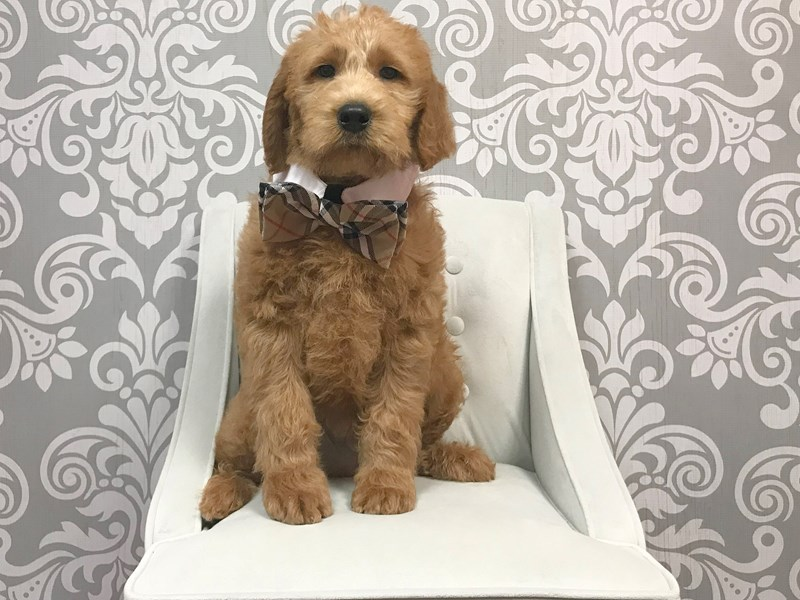 Labradoodle-Male-red-1957651-Furry Babies