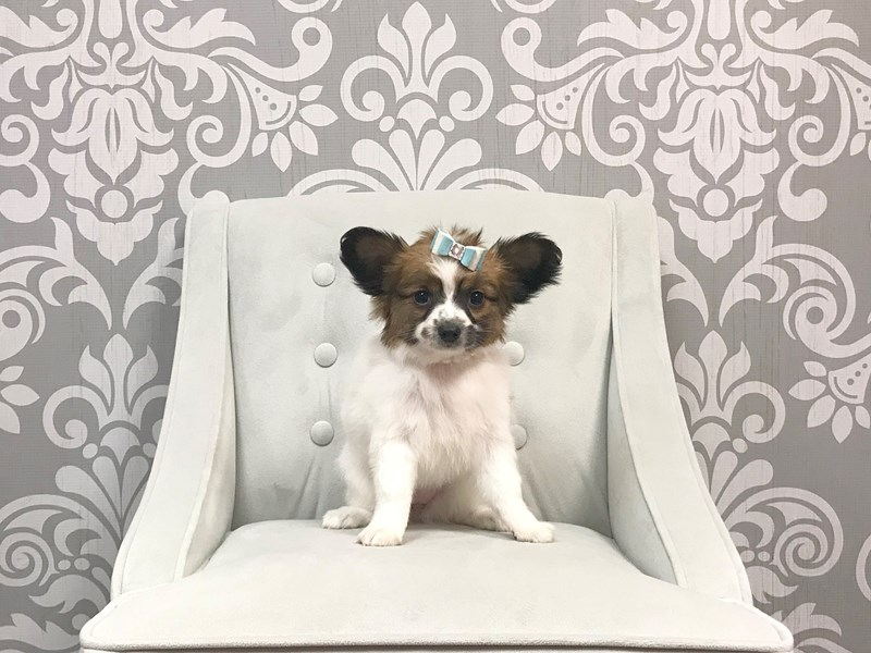 Papillon-Female-SABLE WHITE-1962368-Furry Babies