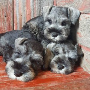 faq s for our adorable mini schnauzer puppies furry babies
