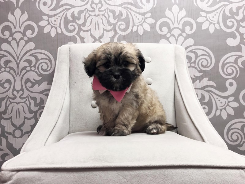 Lhasa Apso-Male-Black & Tan-1989642-Furry Babies