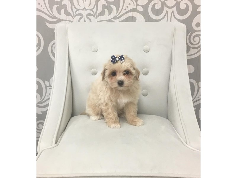Bichon-Poo-DOG-Female-Brown & White-1989680-Furry Babies