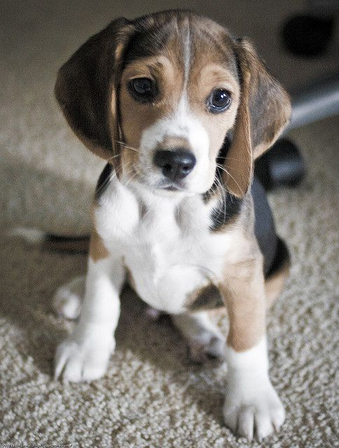 furry babies will have you beggin for our beagle puppies furry