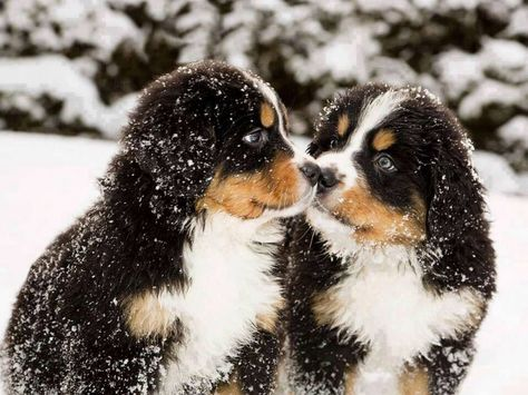 The Incomparable Bernese Mountain Dog What Do You Know