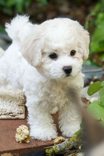 20 Facts We Betcha Didn't Know About Bichon Frise Puppies