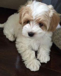 cavachon puppies