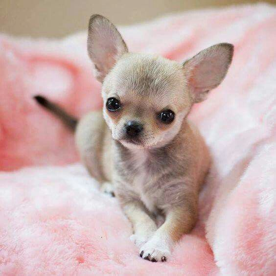 17 interesting facts about chihuahua puppies furry babies