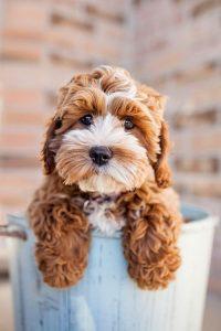 maltishi puppies