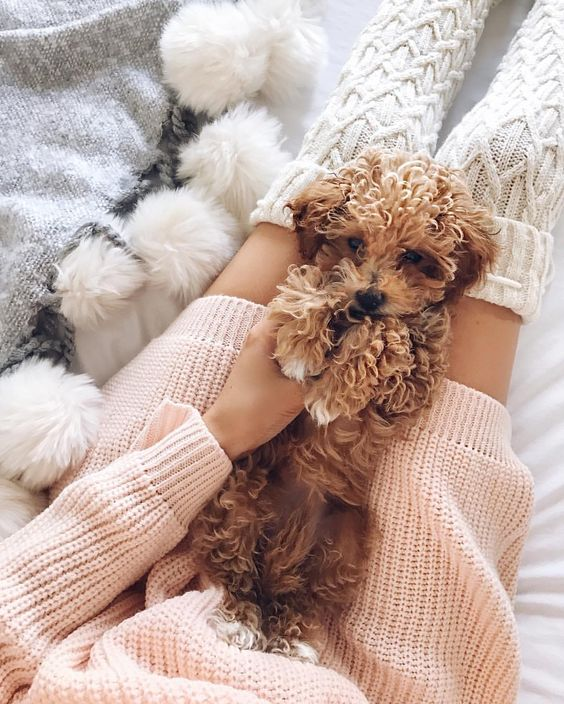 Furry Babies Picture Perfect Poodle Puppies