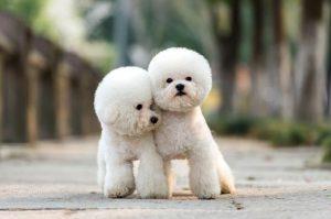 bichon puppies for sale