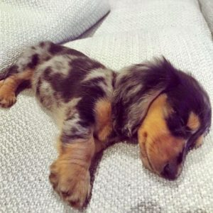 here at furry babies we re in a dazzling daze with dachshund puppies