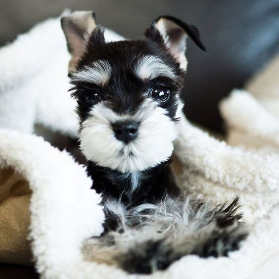 Many Not So Miniature Facts About Miniature Schnauzer Puppies