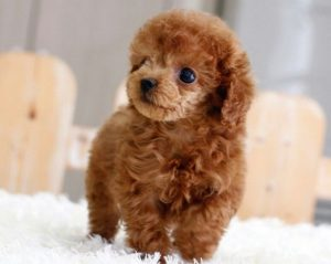 Three Reasons To Pick Up A Poodle Puppy Today Furry Babies