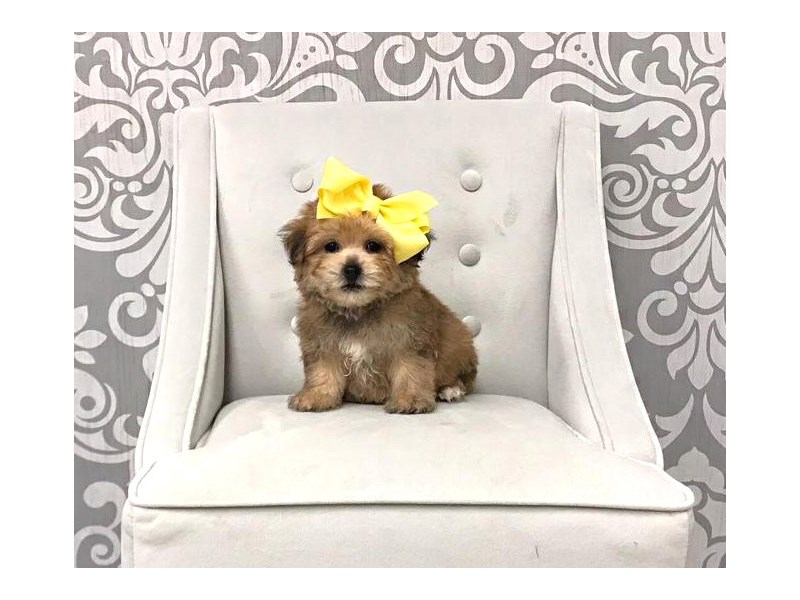 Designer Breeds We Have The 411 On Yorkichon Puppies Furry Babies