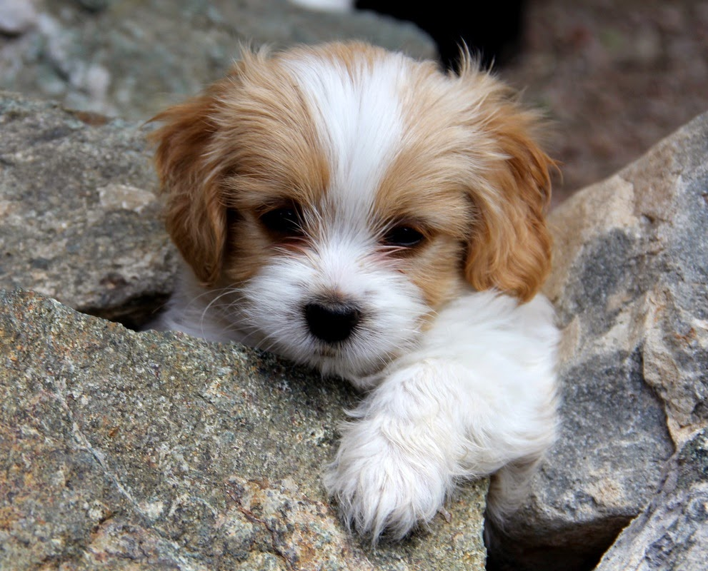 Everything to know about Cavachon Puppies Furry Babies