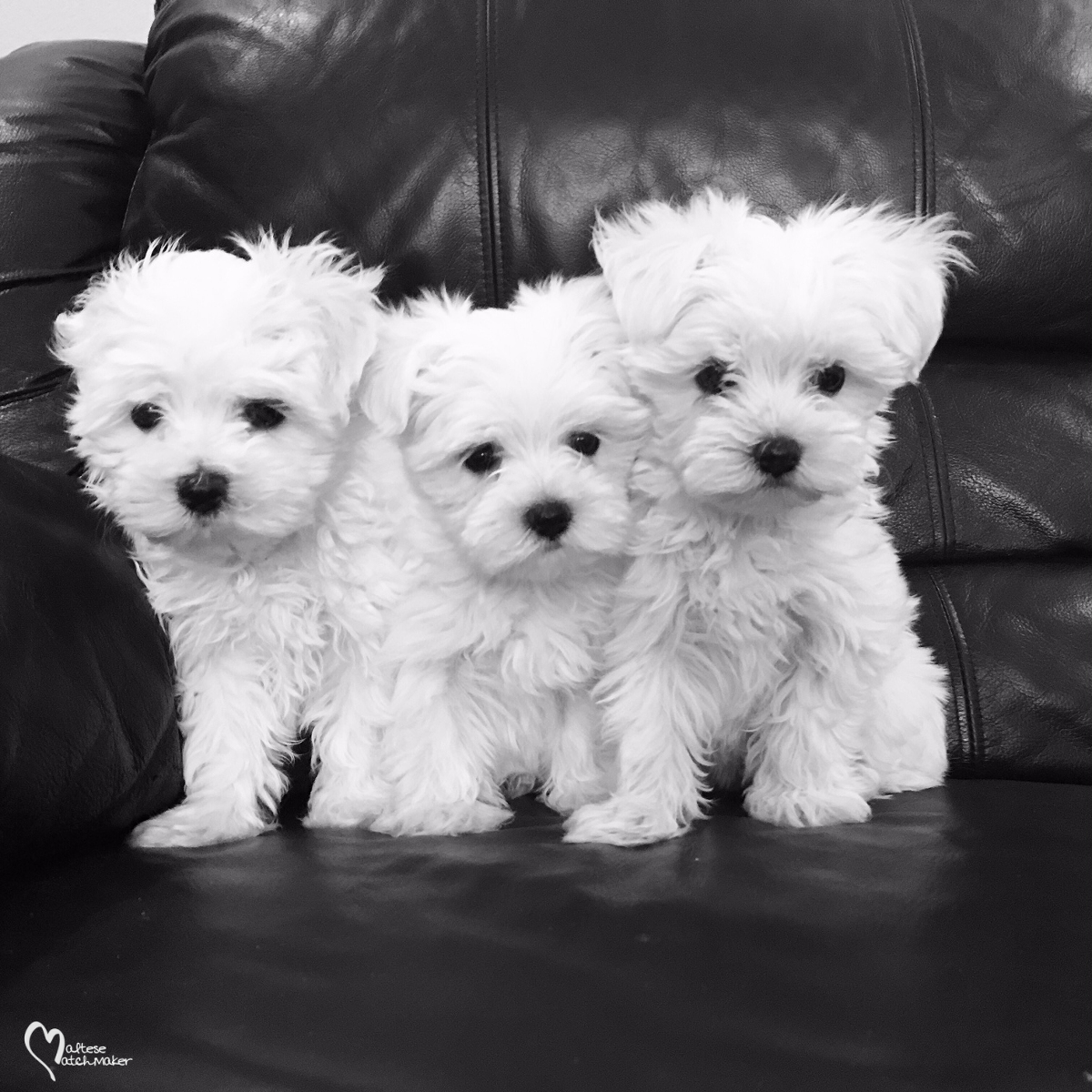 Many Maltese Puppies For Sale - Furry Babies