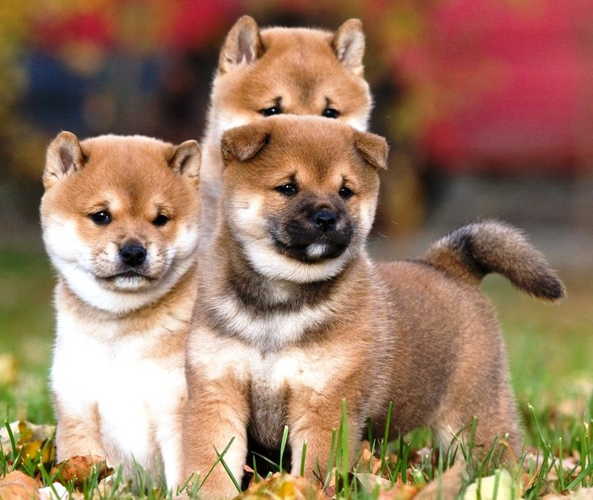 7 Fun Facts About The Striking Shiba Inu - Furry Babies